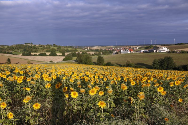 Sonnenblumen, Sonnenblumenfeld, morgen, Natur, Naturfotografie, die alltagsfeierin