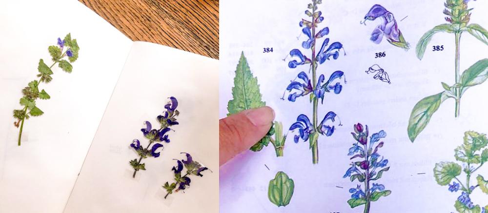 Vanessa von silentmindfullness - Pflanzenbestimmung Räuchern